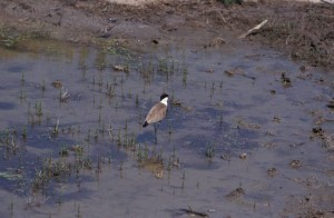 greece-evros-spurwingedplover