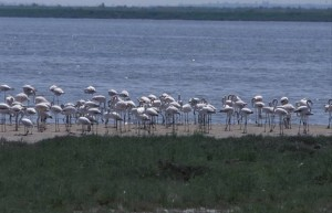 greece-flamingoes