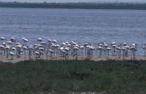 greece-flamingoes