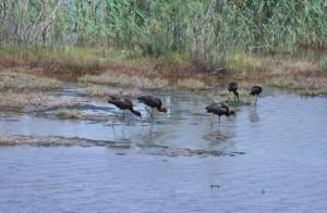 greece-glossy-ibises