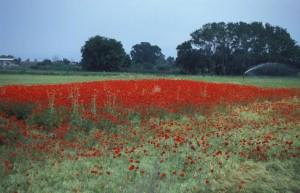 greece-poppy-fields