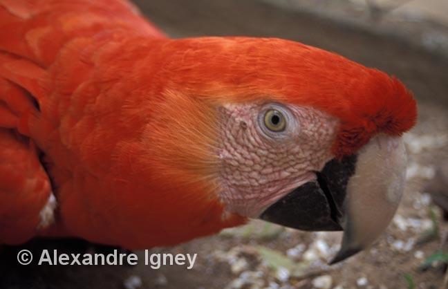 honduras-parrot