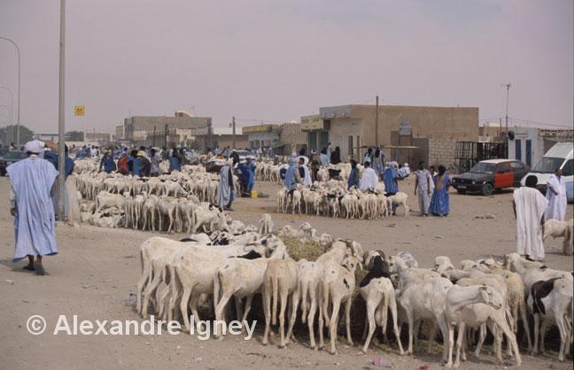mauritania-cattle-market