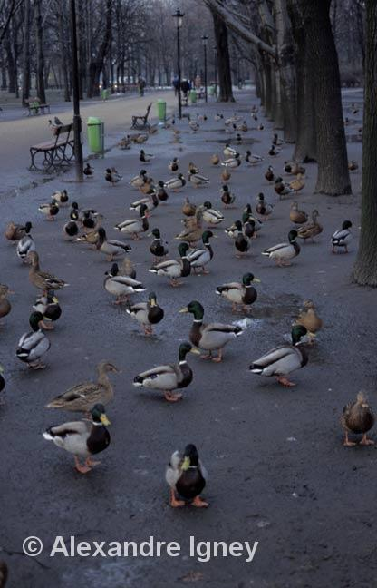 poland-warsaw-ducks