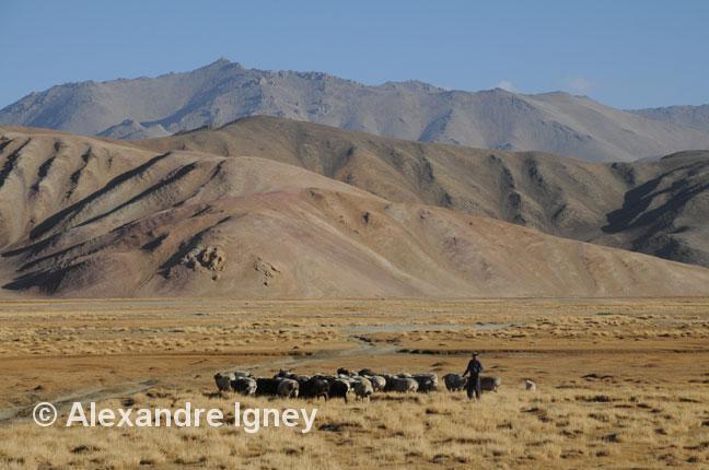 tajikistan-pamir-herd
