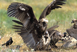 greece-vulture