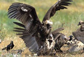 greece-vulture