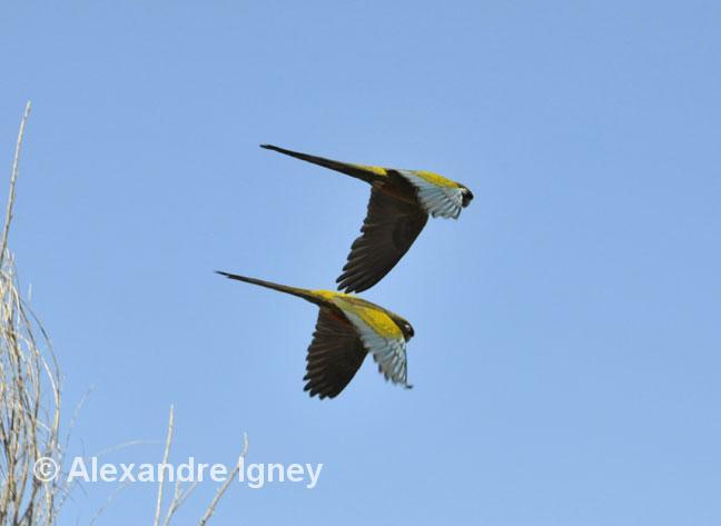 argentina-ruta40-parrots