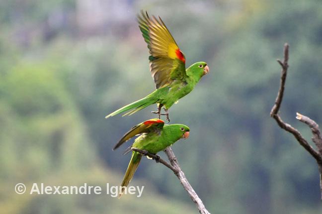 brazil-ouropreto-parrots