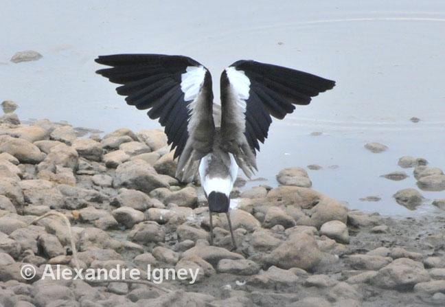 brazil-pantanal-lapwing