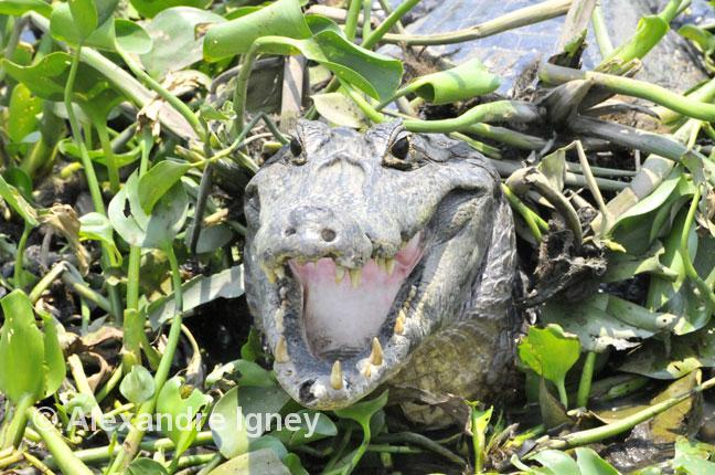 brazil-pantanal-spectacledcaiman