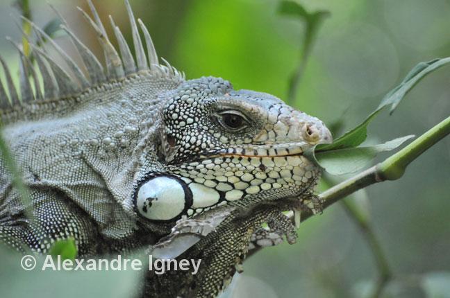 brazil-park-iguana