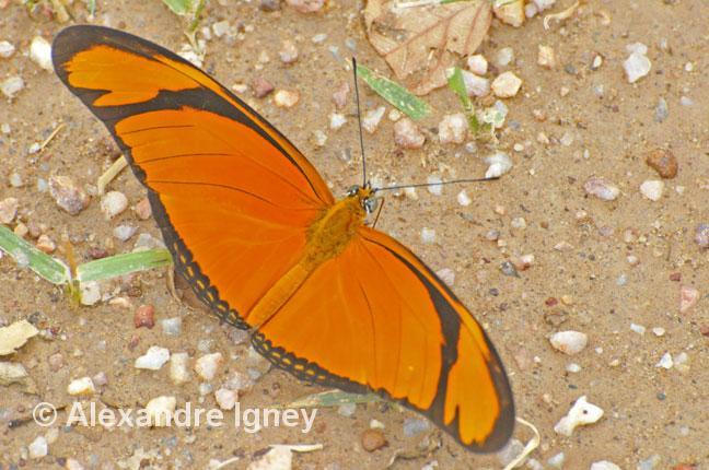 pantanal-butterflies-julia