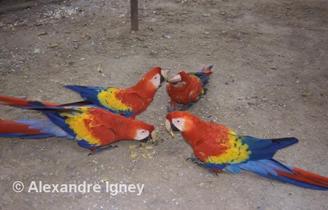 honduras-parrots