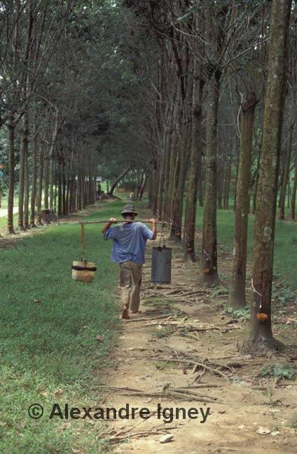 indonesia-rubber-plantation