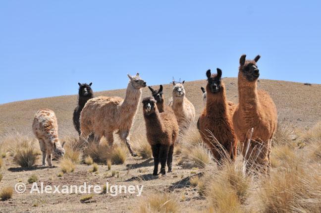 argentina-ruta40-lamas