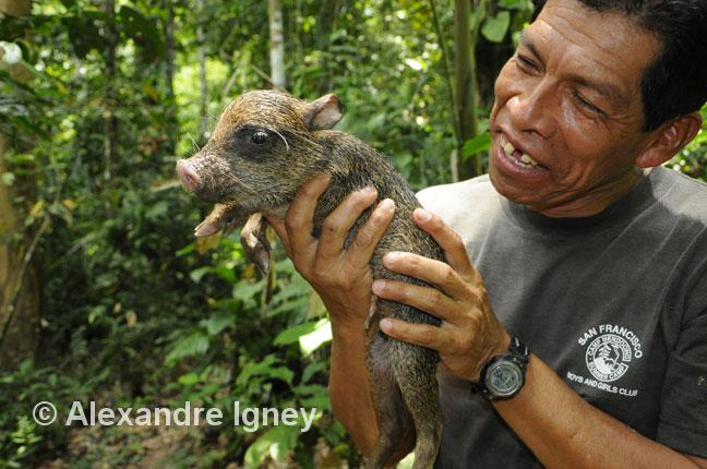 bolivia-amazon-peccary