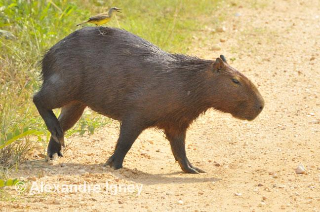 brazil-pantanal-capybara