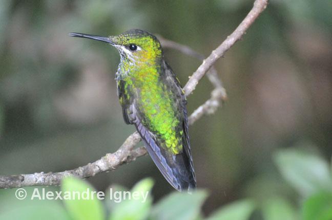 costarica-birds-colibri