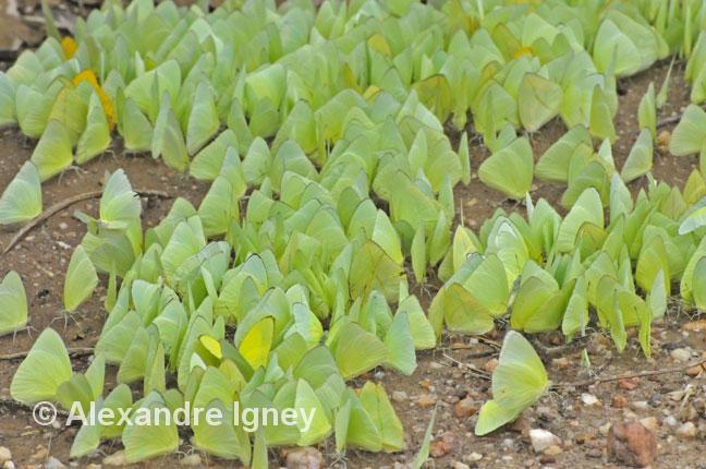 pantanal-butterflies-sulphur