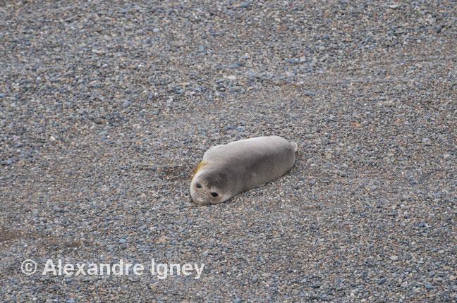 patagonia-peninsulavaldes-elephantseal