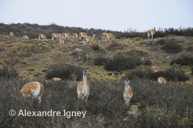 patagonia-torresdelpaine-guanacos